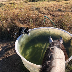 We put a lot of emphasis on handling our livestock in a quiet, safe and efficient manner. Most of the time we use a horse and highly-trained cattle dogs. Pictured here at the waterin' hole after a big drive are Earl Grey, trustiest steed in the Creek Nation Indian Territory, and my Border Collie, Sis. Sis now knows over a dozen commands, but typically works by using her instinct to herd and move livestock. Together, they move cattle with incredible precision and skill while I get to take in the beautiful eastern Oklahoma scenery!